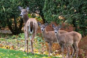 Deer at Ellwanger-s